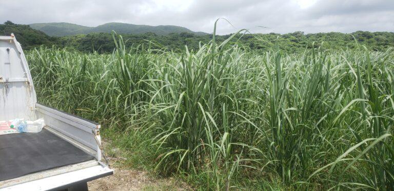 サトウキビ畑成長途中