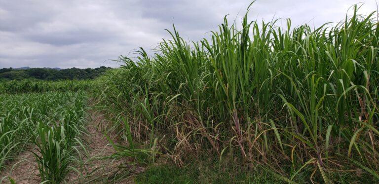 2020年12月サトウキビ収穫